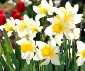 cvety-v-dome-zimoj-posadka-narcissov