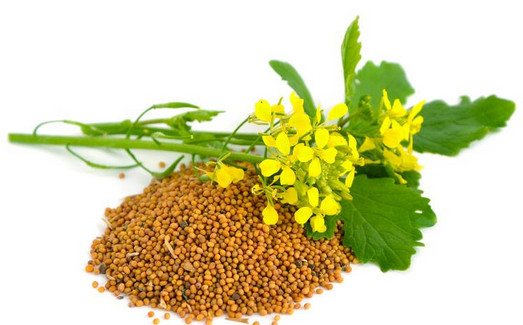 горчица семена, растение