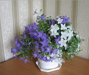 жених и невеста комнатные цветы