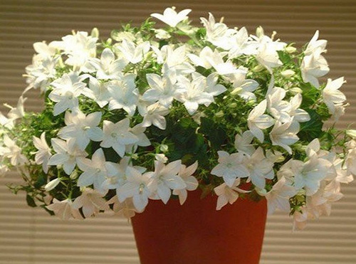 Цветок невеста фото домашний