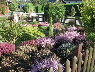 вересковые растения для сада