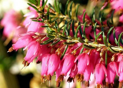 вереск цветет