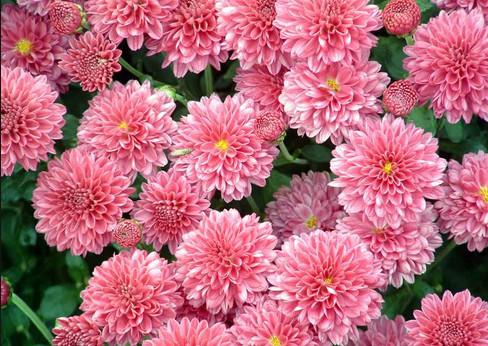 хризантемы розовые