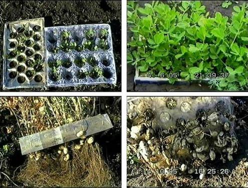 этапы роста арахиса