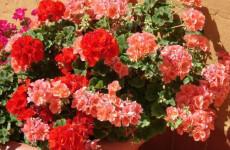 Почему не цветет пеларгония