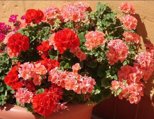 цветет пеларгония