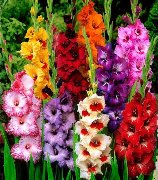 садовые гладиолусы