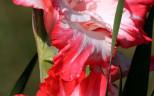 розово-красные гладиолус