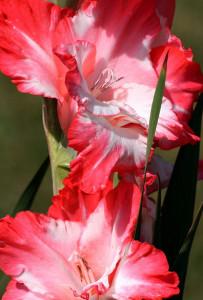 Гладиолус - символ верности и цветок-меч