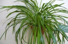 Хлорофитум Хохлатый — чемпион в очистке воздуха в доме