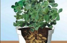 Как вырастить арахис на своем участке