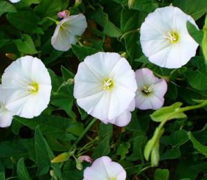 Сорняки с огорода - пища и лечение
