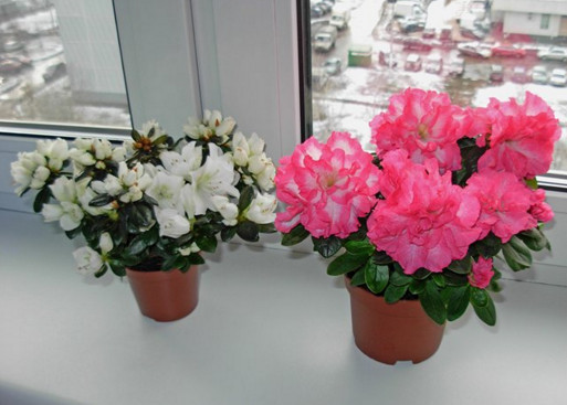 азалии двух цветов