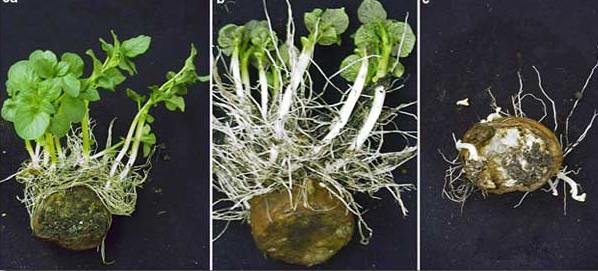 как растет картофель