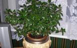 взрослое денежное дерево