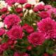 Хризантема садовая посадка плюс уход