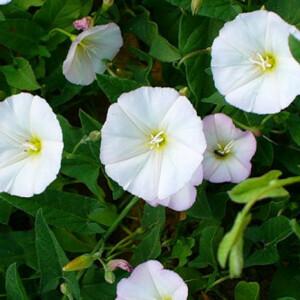 Сорняки с огорода — пища и лечение