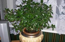 Правильный уход за комнатным растением денежное дерево